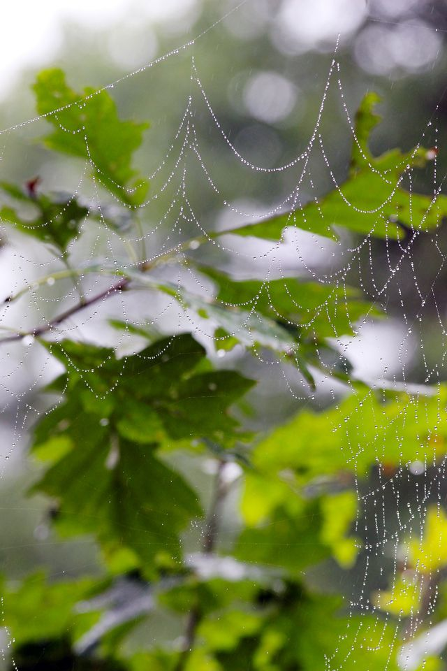 Tiny raindrops dot a large spider web spun between the branches of a leafed out oak tree.