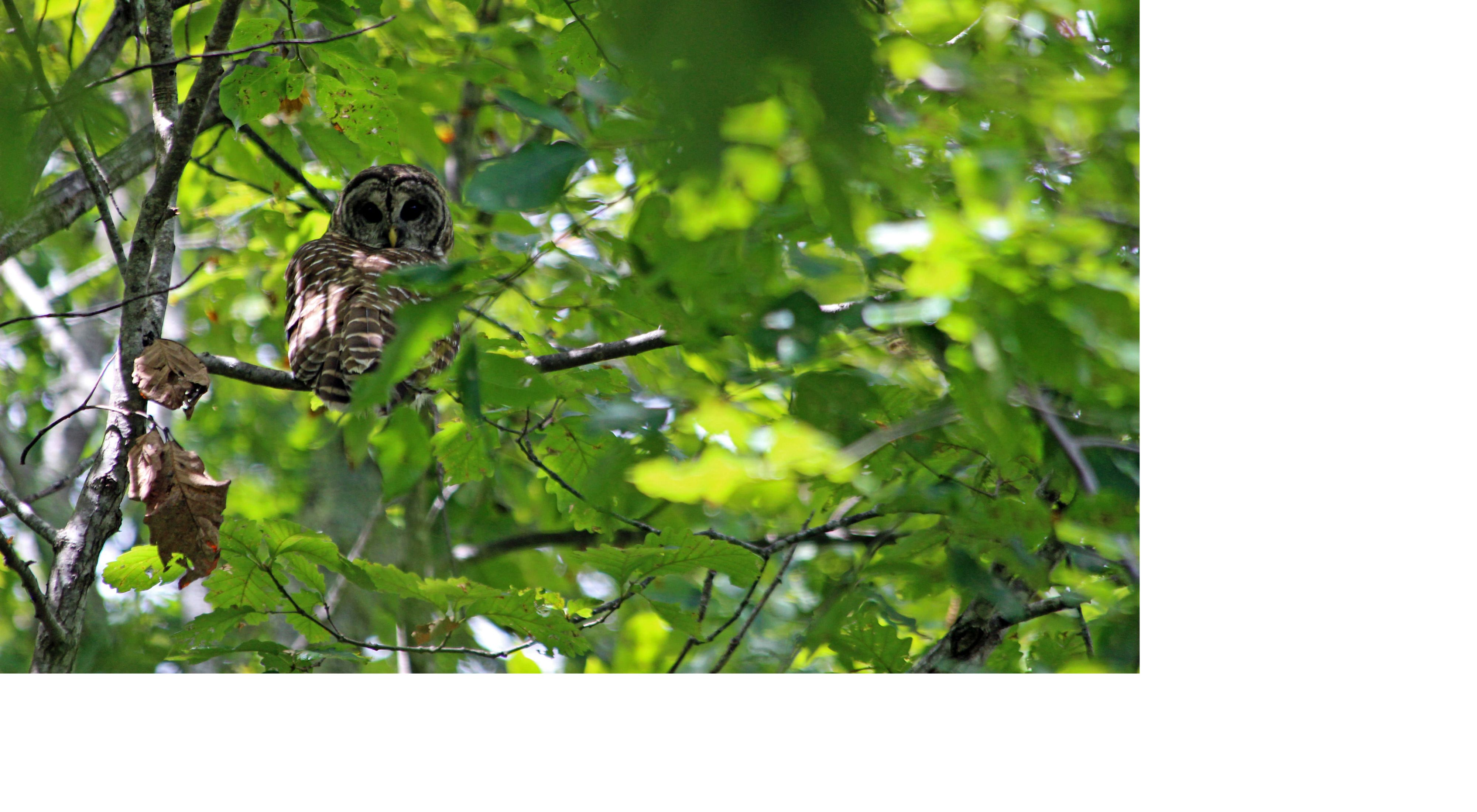 An owl sits in a tree surrounded by green leaves.