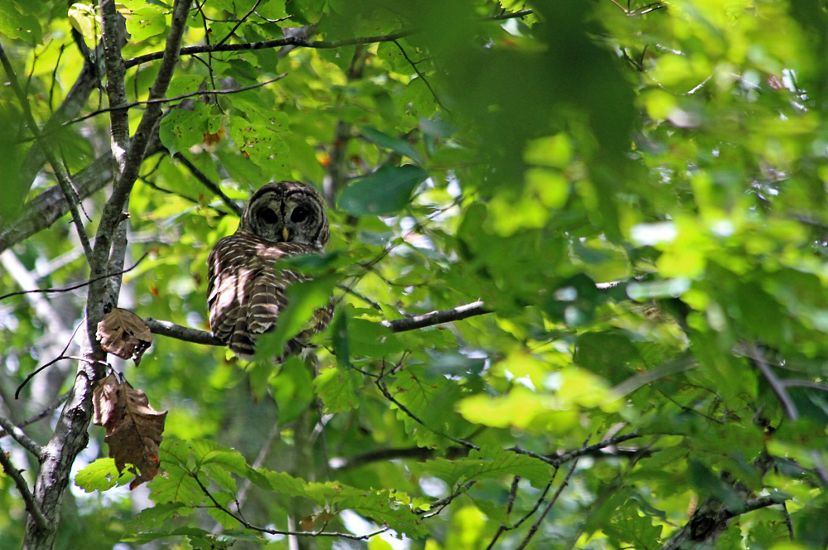 An owl sits on a branch high up in a tree almost obscured by green leaves.