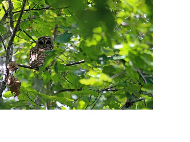 A gray and white owl perches on a branch, peering out from behind thick green foliage.