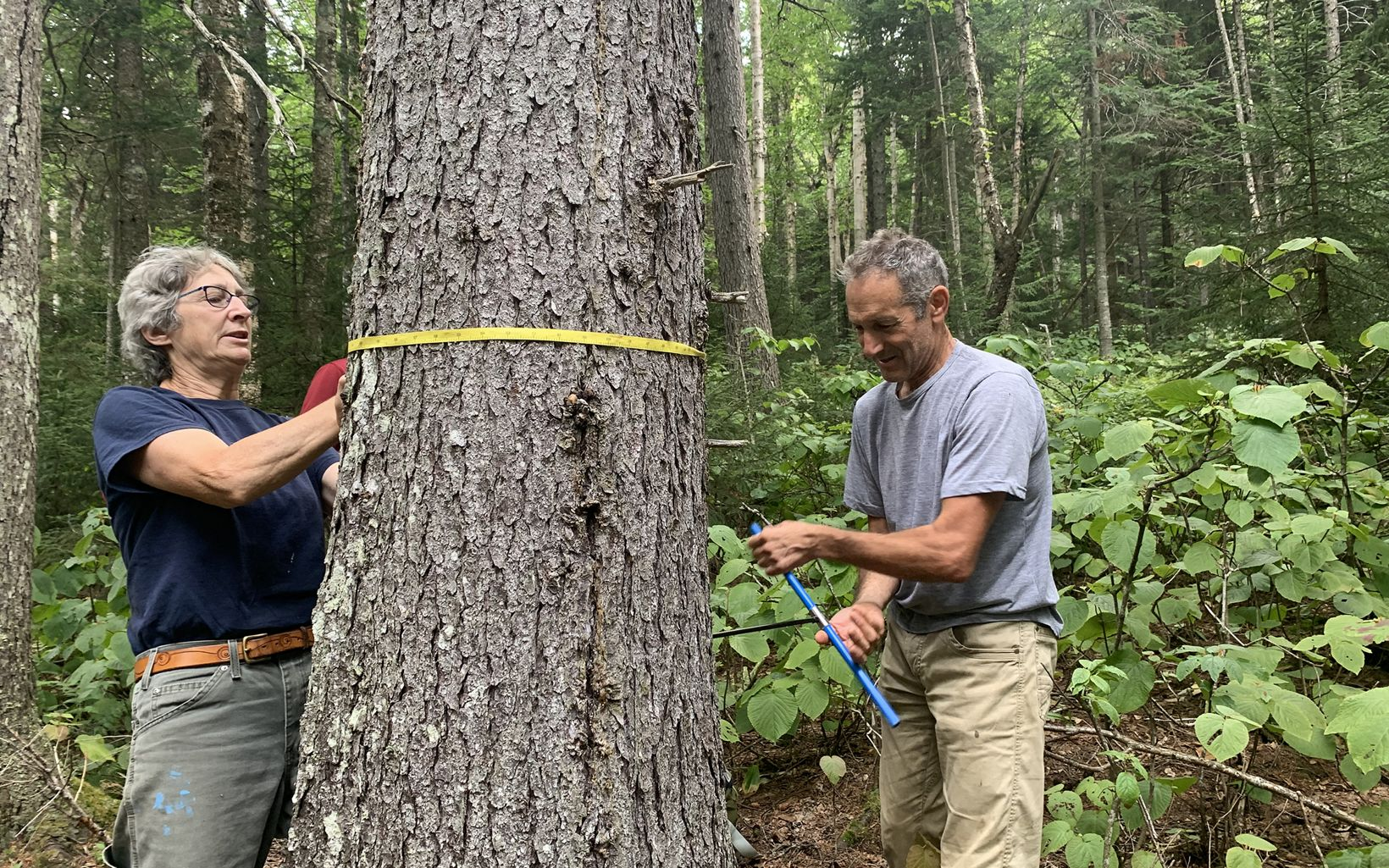 a woman holds a tape measure around a tree while a man on the opposite side turns a core sampler into the tree.