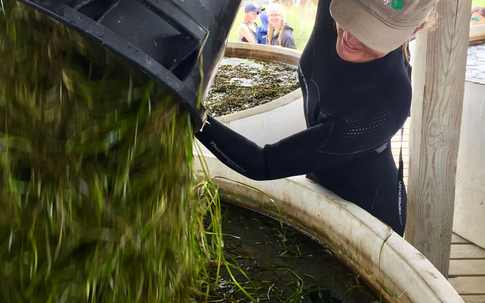 Eelgrass shoots are loaded into water tanks in Oyster, VA for storage and curing until the seeds are ready for fall planting.