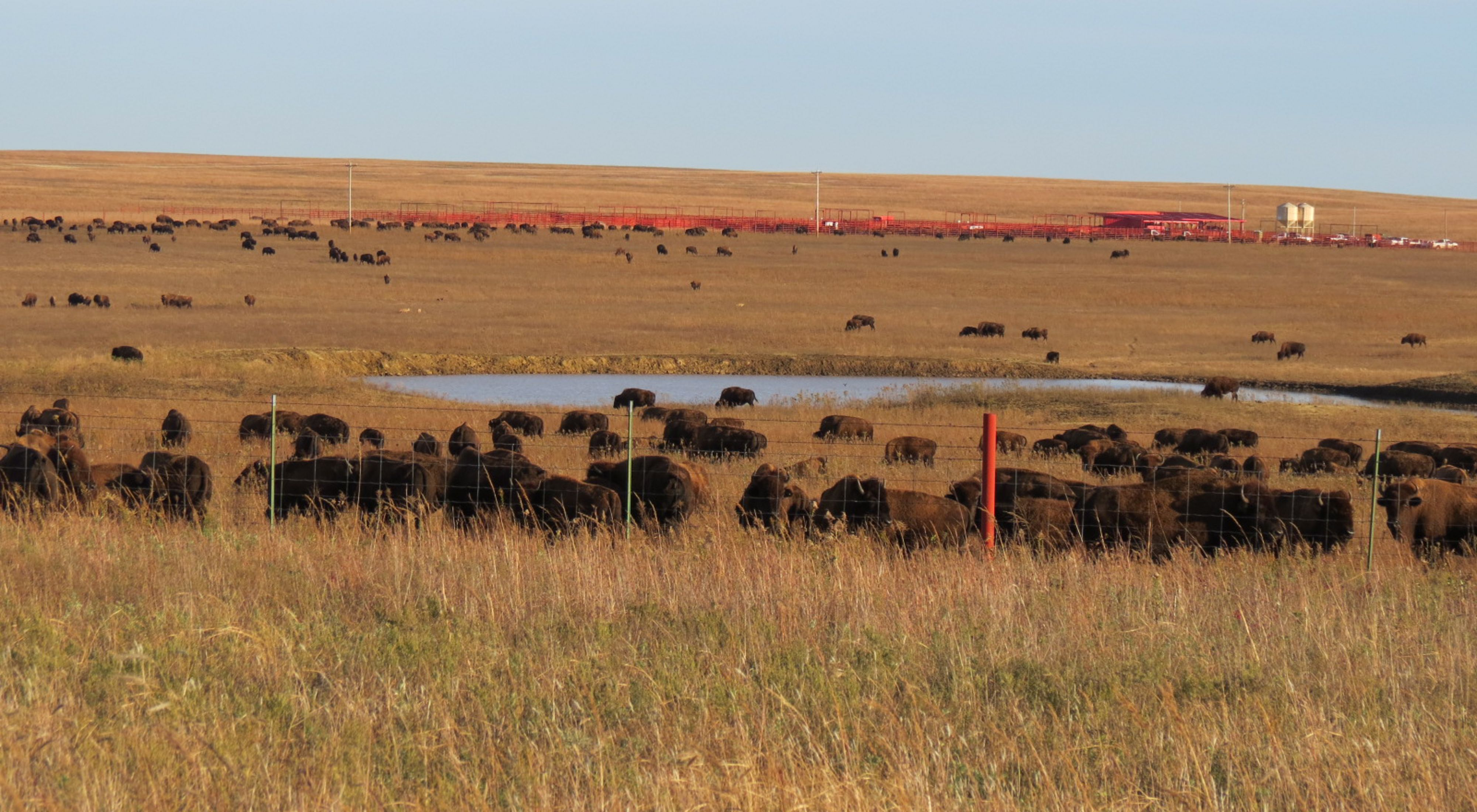 The corrals in the background of bison grazing at the 2014 fall roundup at Tallgrass Prairie Preserve.