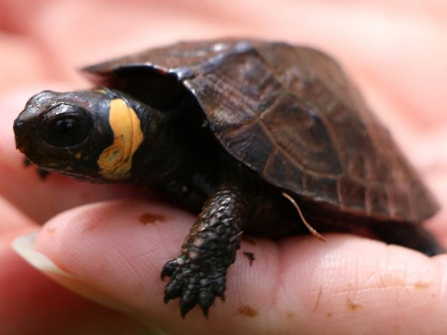 The bog turtle is the smallest turtle species in North America