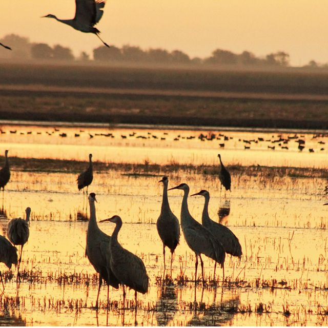 Sandhill cranes (Grus canadensis) in rice fields. Staten Island, California.