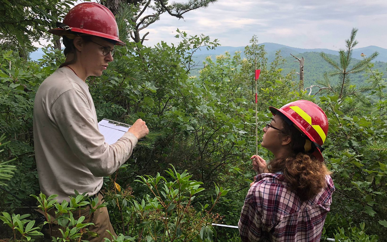 Two people wearing red hardhat stand in a green thicket counting stems of young pine trees at a study site.