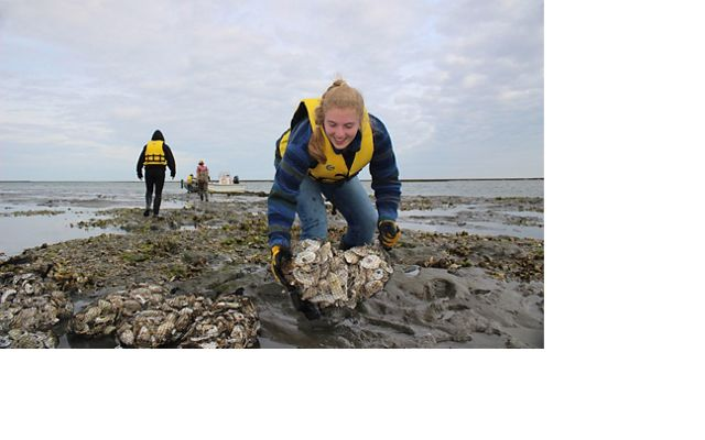 A woman places a mesh bag of oyster shells on a reef at low tide.
