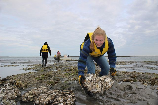 A woman wearing a yellow life preserver bends down to place a mesh bag filled with oyster shells on a reef at low tide.