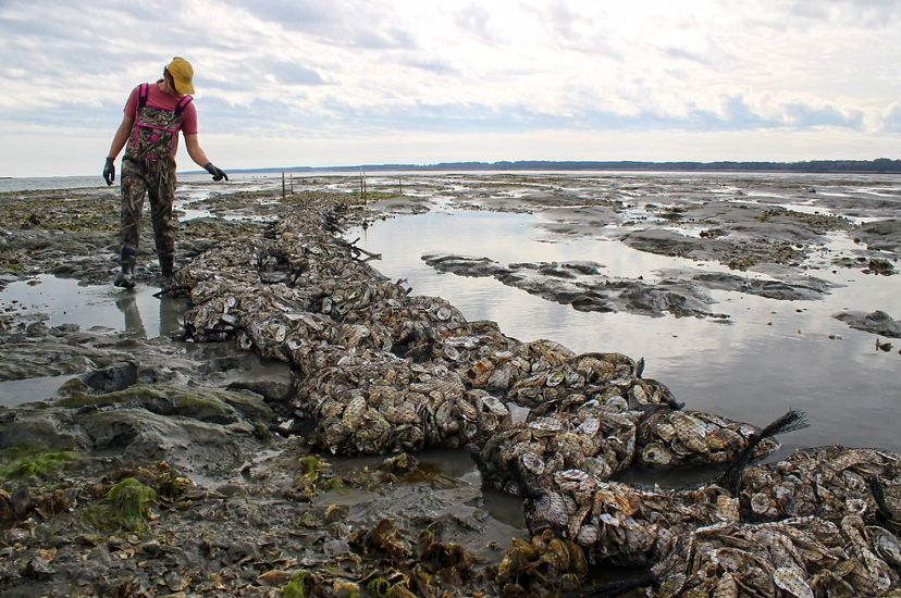 Large mesh bags filled with oyster shells are arranged in two rows on an exposed restored oyster reef during low tide. A woman wearing chest waders stands at the edge of the reef counting bags.