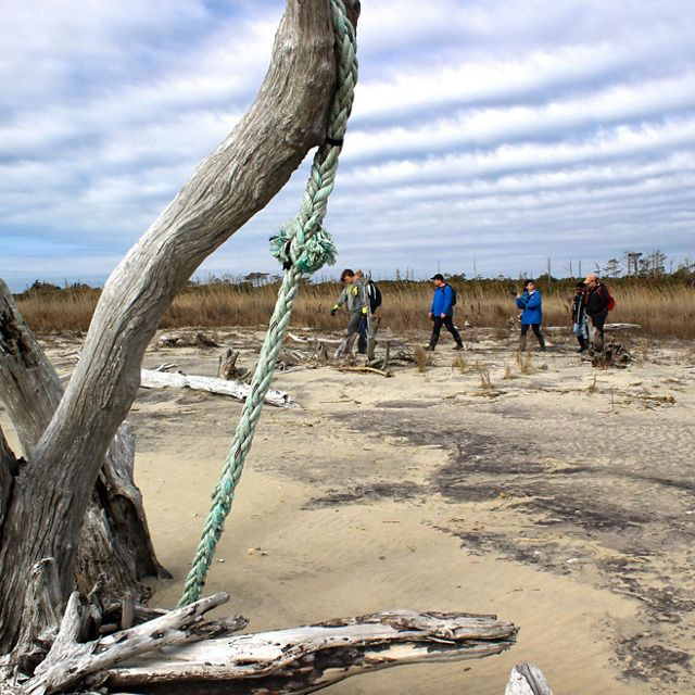 """The bleached white trunk of a dead """"ghost tree"""" juts out of the sand on Parramore Island. In the background four people walk in a line across the upper beach under a low, cloud streaked sky."""
