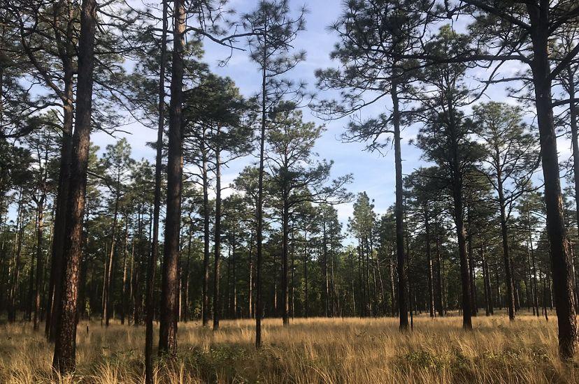 Photo of North Carolina longleaf pine forest.