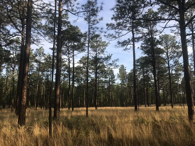 Photo of North Carolina longleaf pine forest.