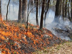 A low intensity fire burns through leaves and other forest litter during a controlled burn. The widely spaced trees in the forest are not harmed by the fire. White smoke rises between their trunks.