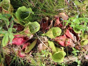 View looking down on the tubular shapes of pitcher plants. Their wide open mouths are full of clear liquid. The green plants are streaked with bright red veins.