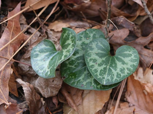 A plant with green heart-shaped leaves sits in a backdrop of leaf litter.