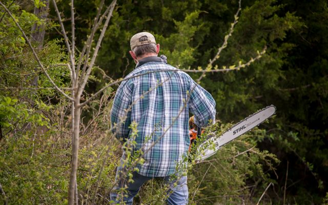 A man in plaid carefully removes encroaching cedar trees.