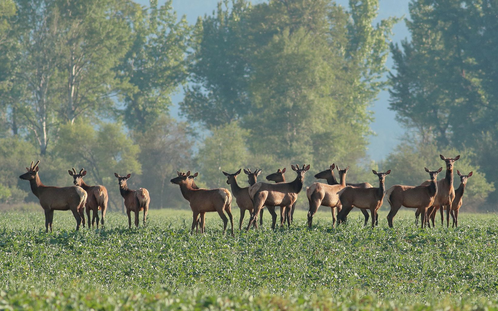 Elk herd gathered in a field at Ball Creek