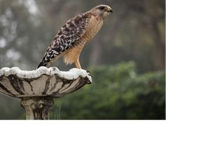 red-shouldered hawk sitting on a fountain