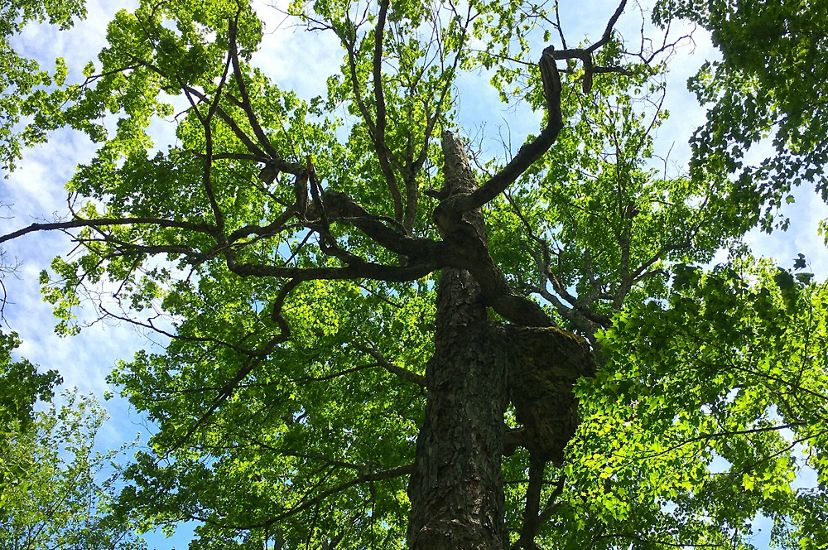 View looking up into the canopy of a towering sugar maple tree. Its long branches bend out from the tree at crazy angles.