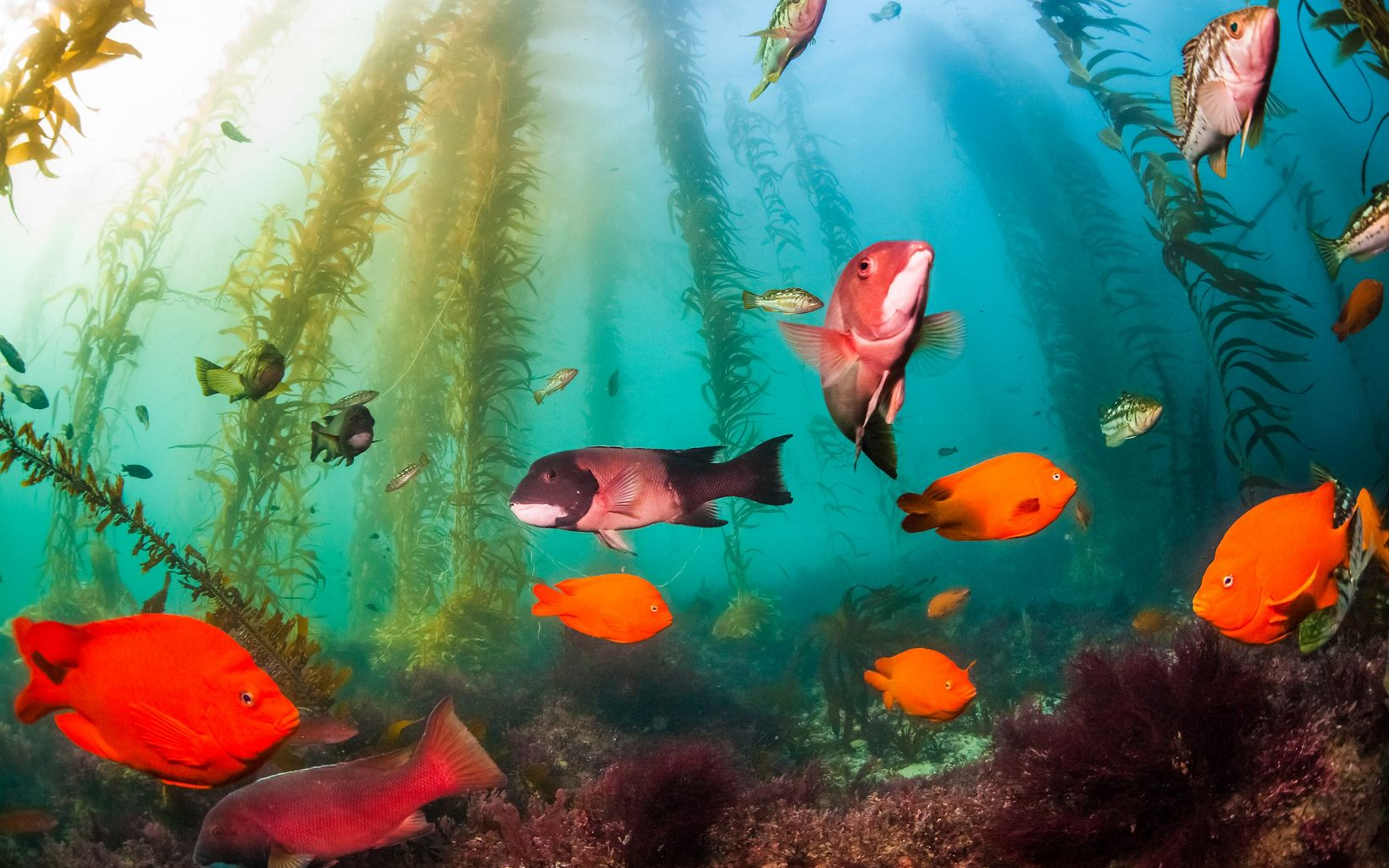 Orange, red and silver fish swimming near the sea floor among tall kelp plants.