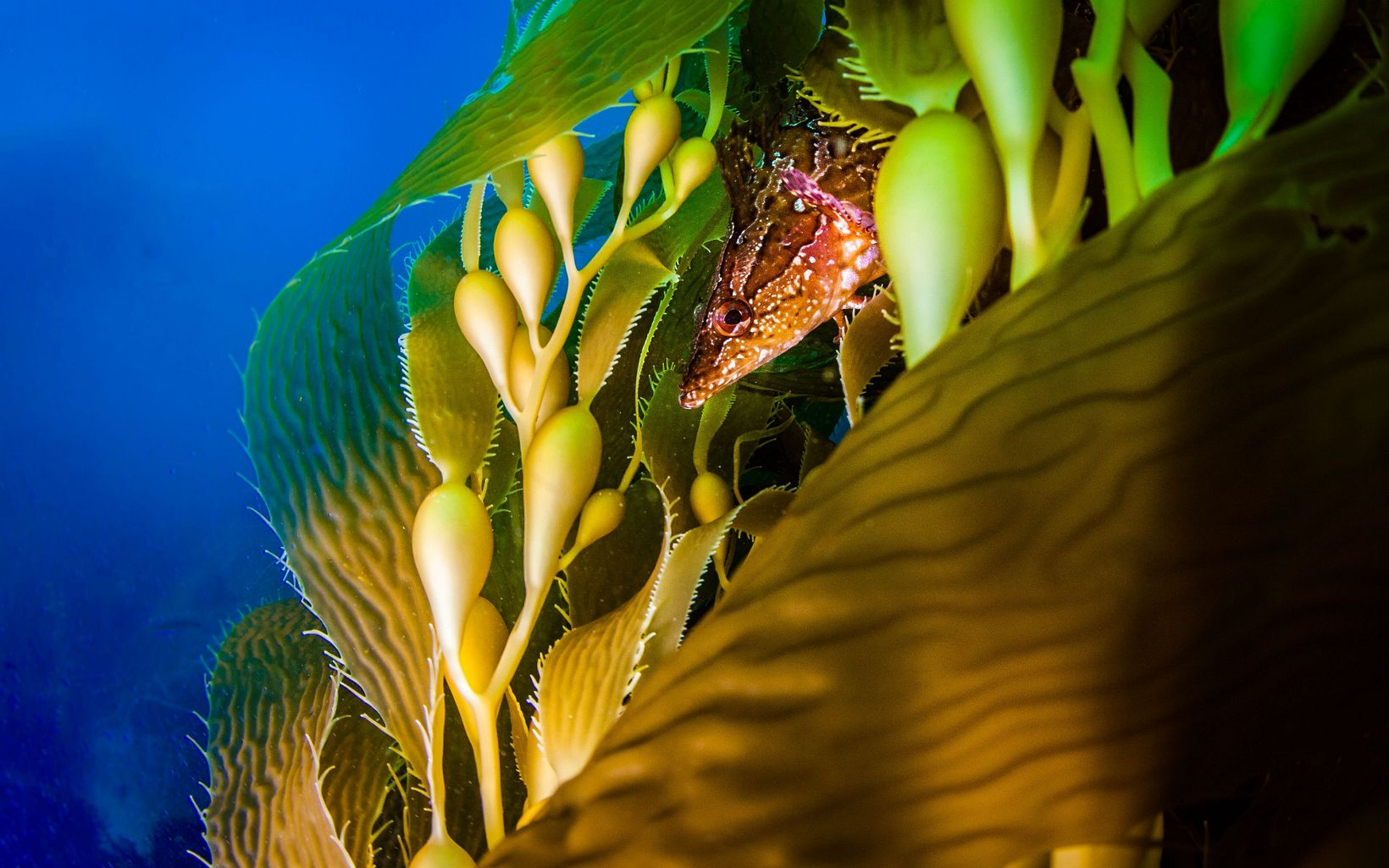 Closeup of a fish peeking out from between kelp fronds.