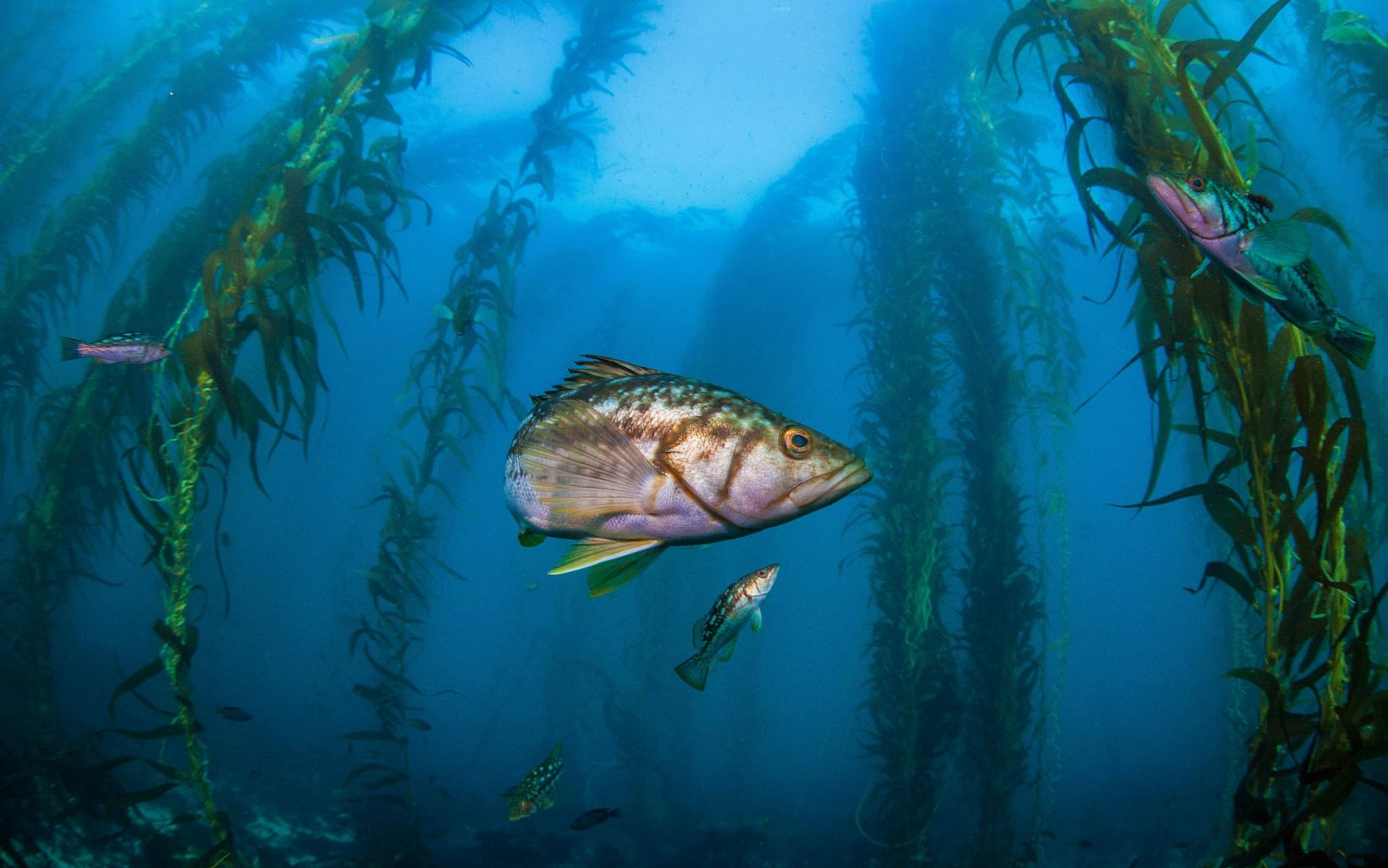 Silver fish with brown spots in a kelp forest.