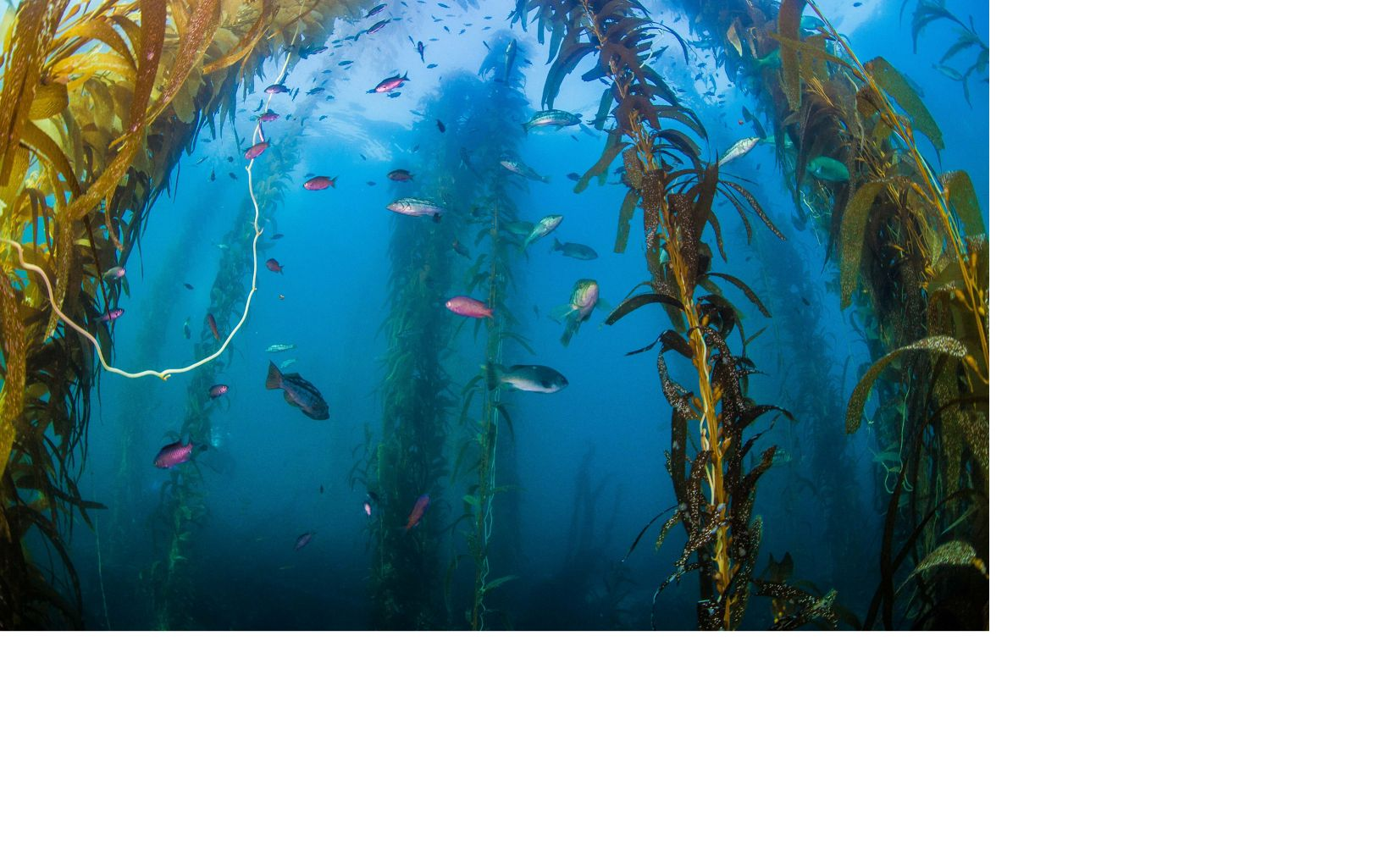Fish in a kelp forest off the coast of California