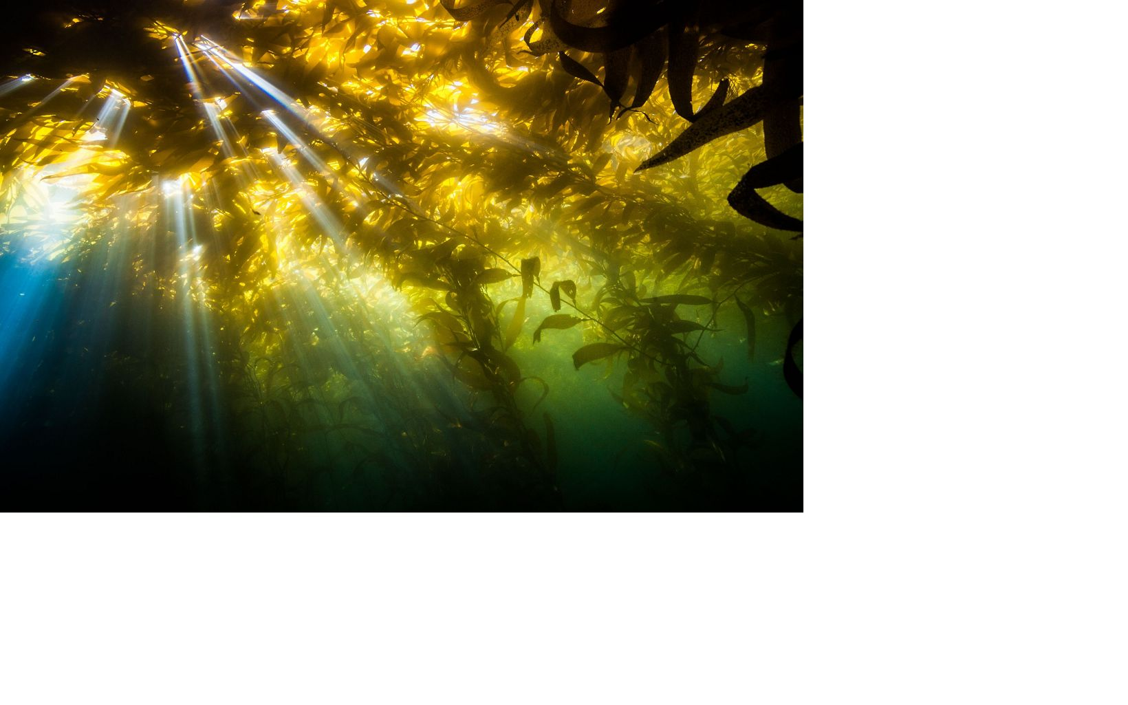 Sunshine coming through a kelp forest off the coast of California