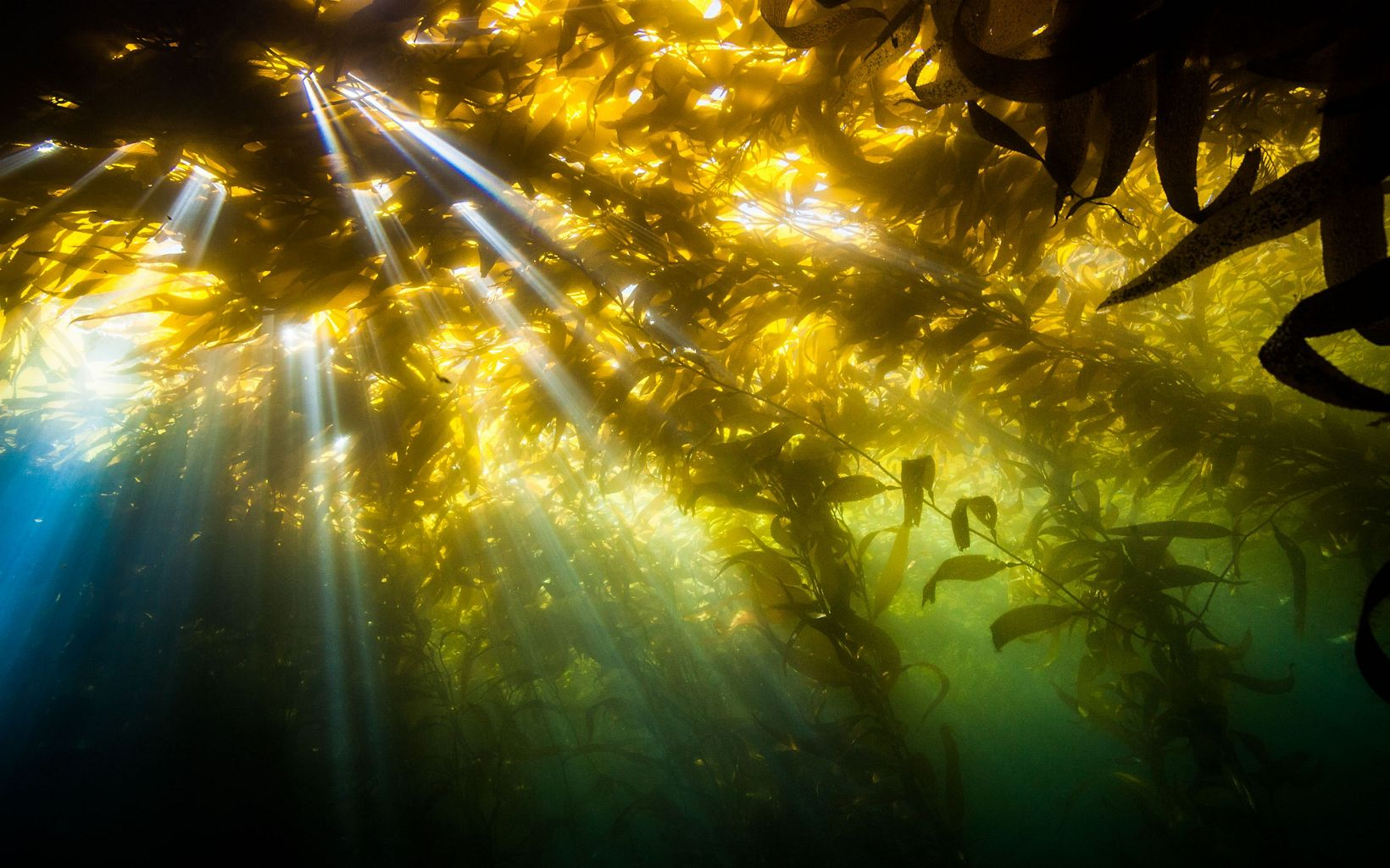 Underwater photo looking up as sun streams through kelp plants from the surface.