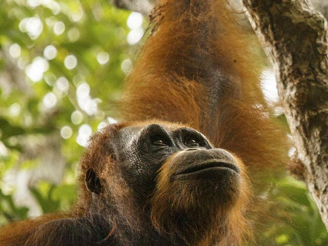 A closeup of a Borneo orangutan's face looking skyward.