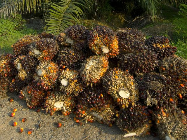 A bunch of oil palm fruits sitting in front of a palm oil tree.