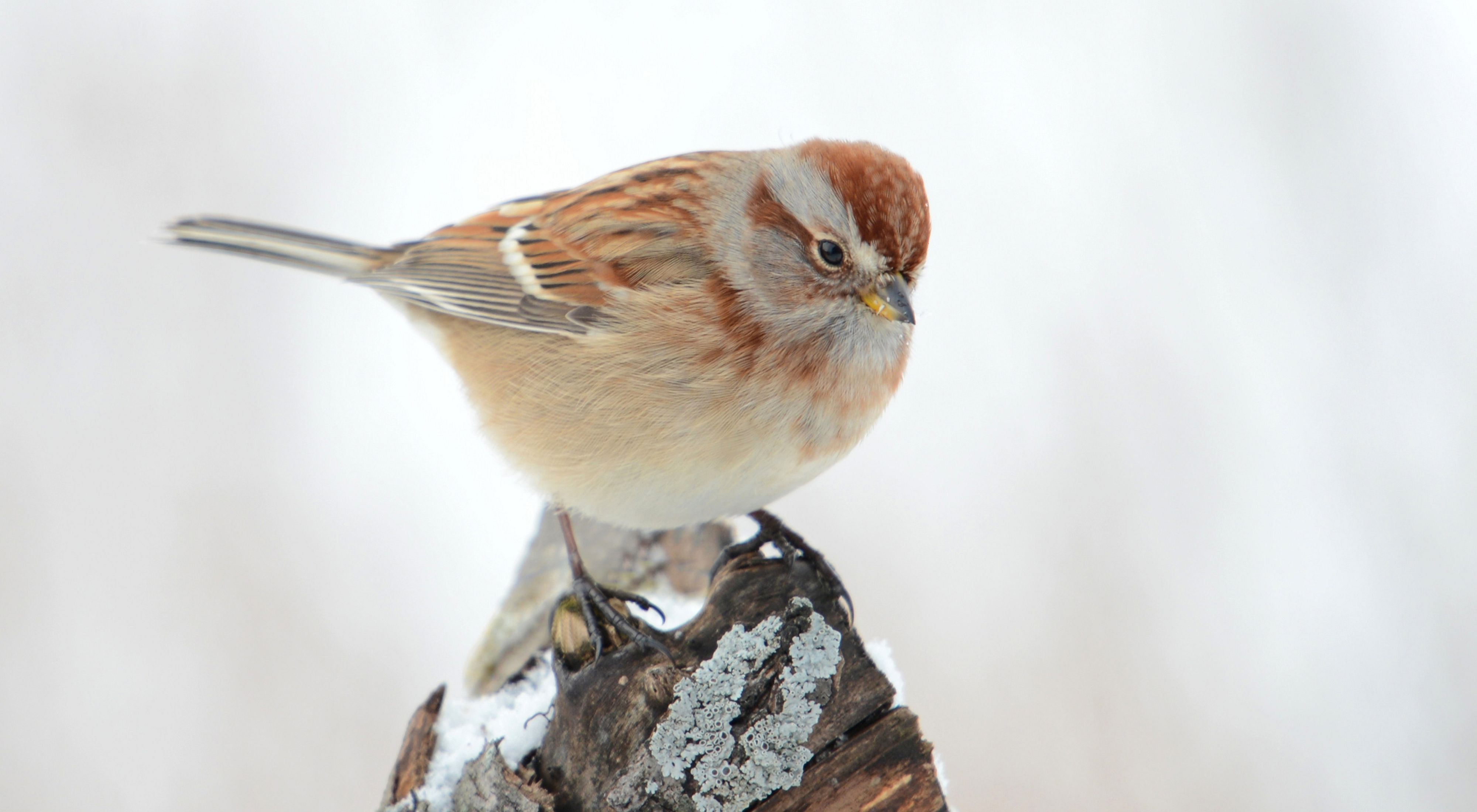 Small sparrow with brown markings perched on a stump.