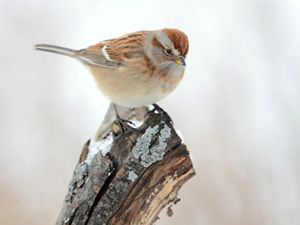 A small brown bird sits on a branch-tip in the snow.