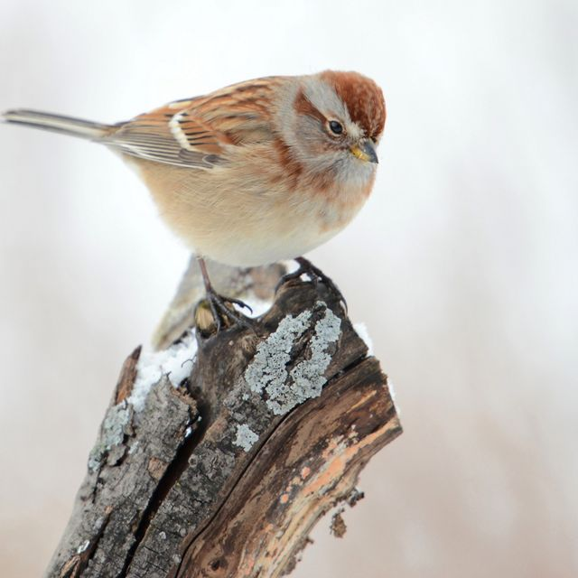 Small bird with brown markings perched on a stump.
