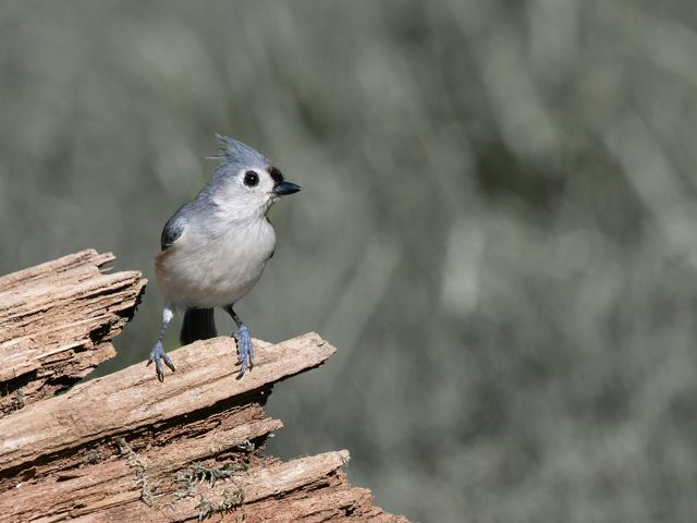 Greyis bird with white breast perched on fallen log.