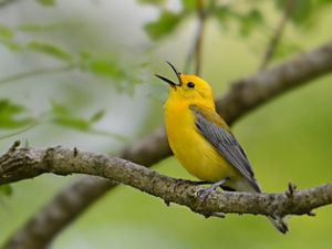 Yellow bird with grey wings sings on tree branch.