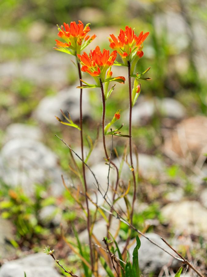 Bright red orange flowers on slender plants.