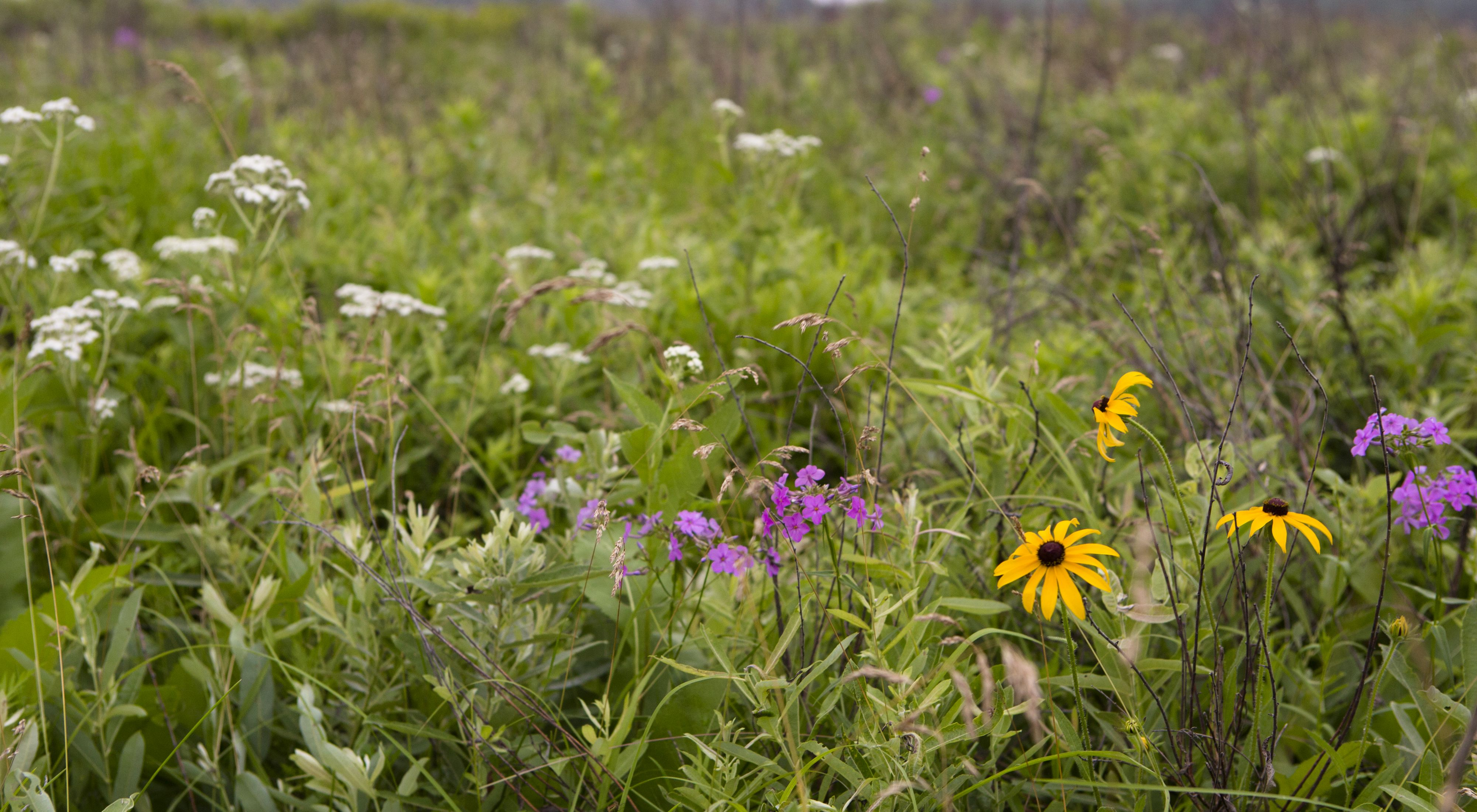 Wildflowers at Indian Boundary Prairies.