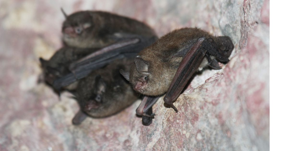 A group of Indiana bats huddle in a cave.