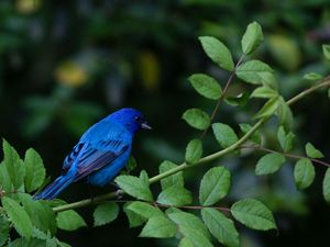 Vibrant blue color of the Indigo Bunting makes it a treasure to spot.