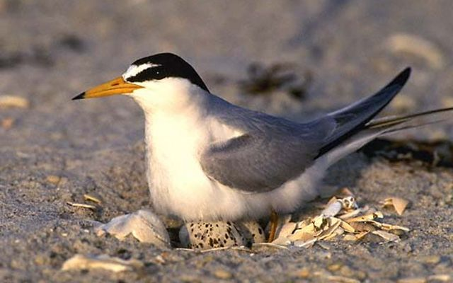 A small white, gray and black bird sitting on eggs in the sand.