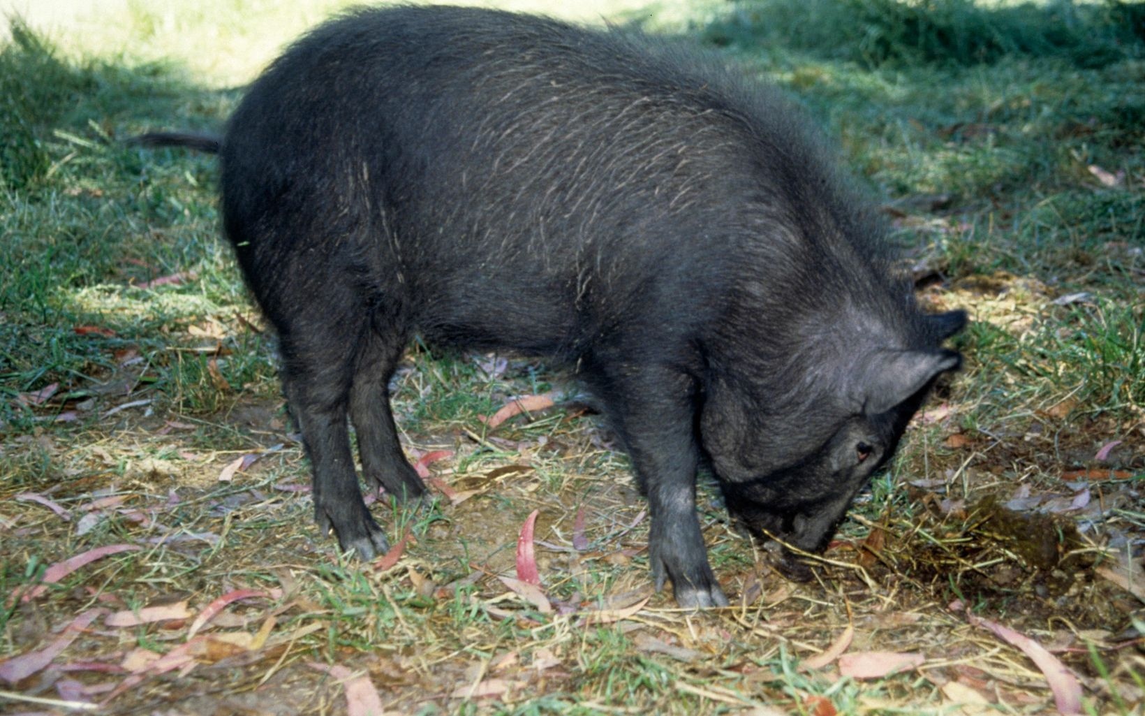 A feral hog roots into the dirt in search of food.