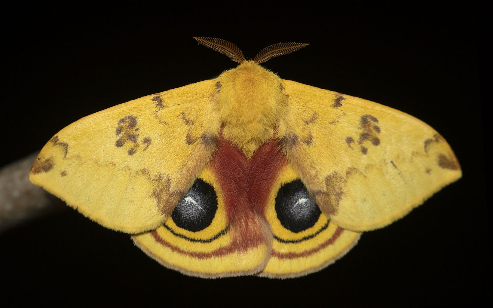 Dorsal wing view of an io moth