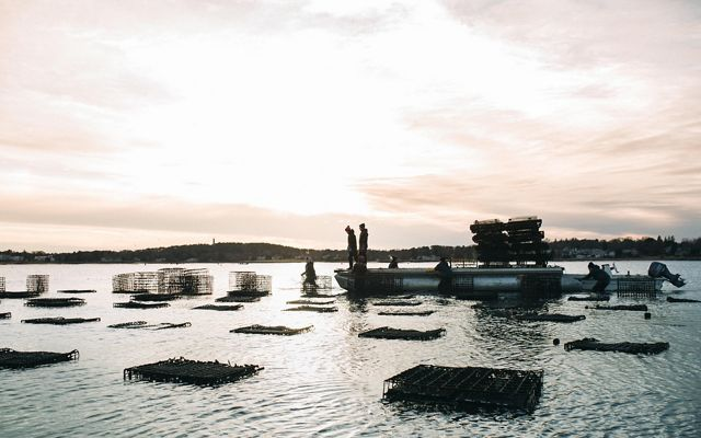 Oyster cages arrayed in a shallow bay with their tops showing above the water surface and a barge with several people standing on it silhouetted against a bright sky.
