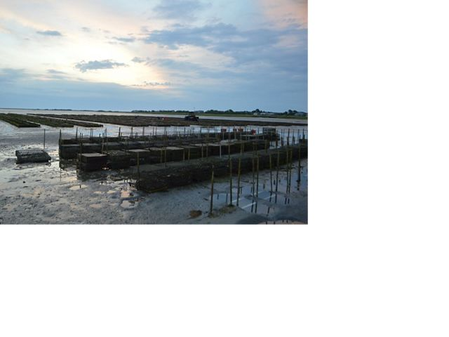 Oyster farming gear at low tide in Plymouth, Massachusetts.