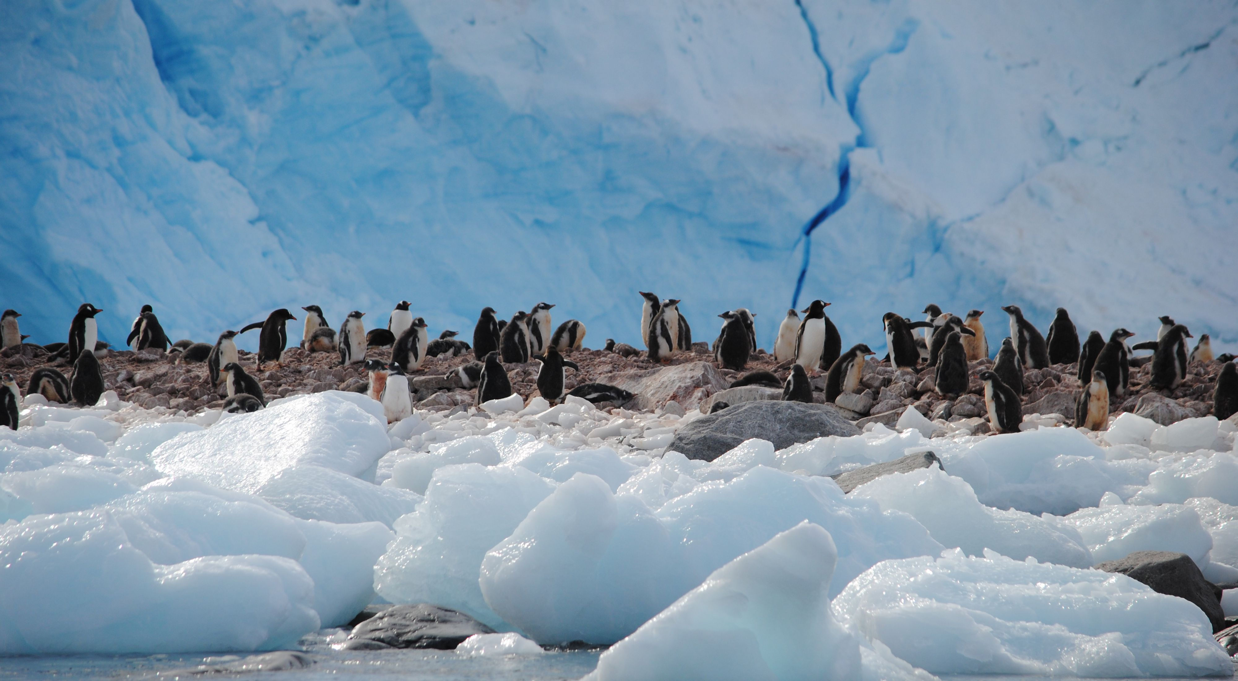 Gentoo penguins on an iceberg in Antarctica.
