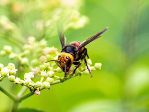 A yellow and black hornet on a small flower.