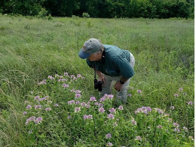 Looking for skippers on Wild Bergamot during North American Butterfly Association count at Pontotoc Ridge Preserve, OK.