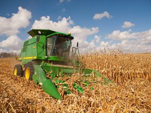 A large green combine harvesting dry cornstalks.
