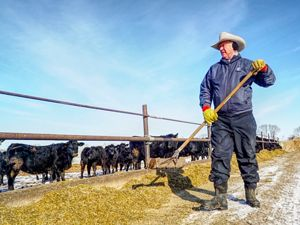 Rancher shoveling grass feed for his cattle.